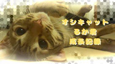 人の水を飲みたがる猫さん~オシキャットるか君の成長記ブログ no.9~