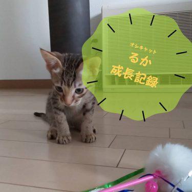 可愛い仔猫から化け猫に~オシキャットるか君の成長記ブログ no.1~