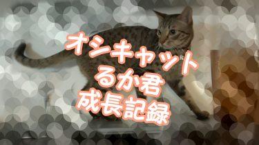 シャクレルプラネットな猫さん~オシキャットるか君の成長記ブログ no.11~