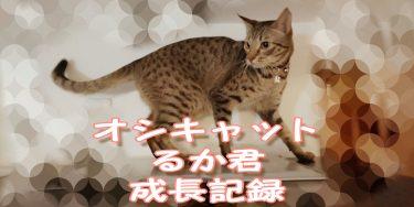 猫ちゃんと赤ちゃんを共存させるためには~オシキャットるか君の成長記ブログ no.13~